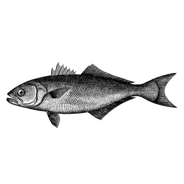 Bluefish. /Nbluefish (Pomatomus Saltatrix). Line Engraving. Poster