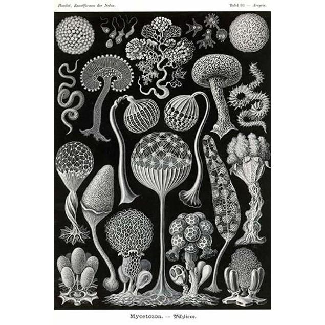 Mycetozoa.  Ernst Heinrich Philipp August Haeckel (16 February 1834 � 9 Aug