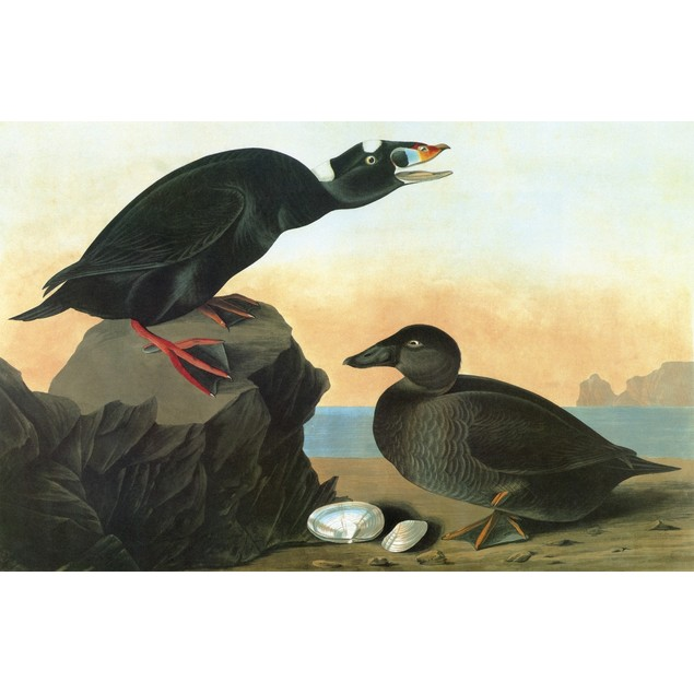 Audubon: Scoter. /Nsurf Scoter (Melanitta Perspicillata). Engraving After J