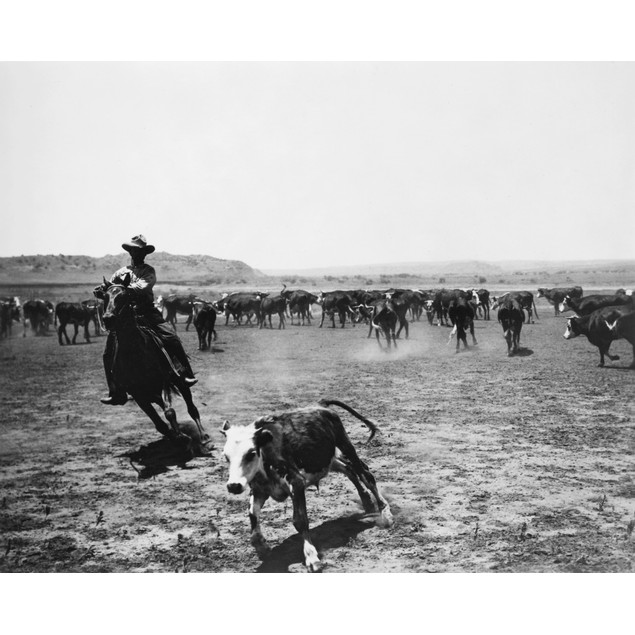 Cowboys, 20Th Century. /Ncutting Off A Calf From The Herd. Photographed By