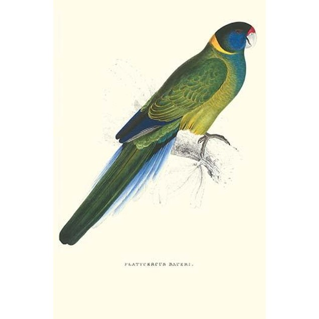 Bauer's Parakeet.  High quality vintage art reproduction by Buyenlarge.  On