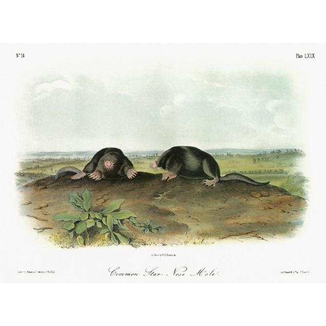 Audubon: Mole. /Nstar-Nosed Mole (Condylura Cristata). Lithograph, C1851, A