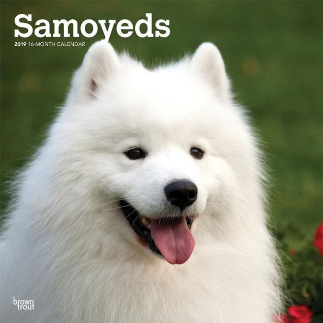Samoyeds Wall Calendar, Samoyed by Calendars