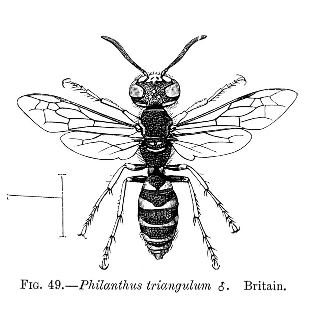 Insects: Wasps. /Nmale Bee-Killer Wasp, Or Bee Wolf (Philanthus Triangulum)