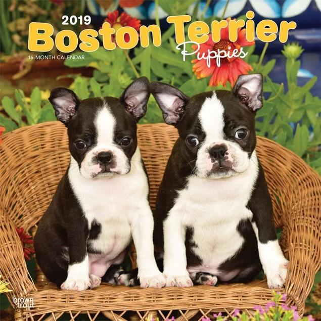 Boston Terrier Puppies Wall Calendar, Boston Terrier by Calendars