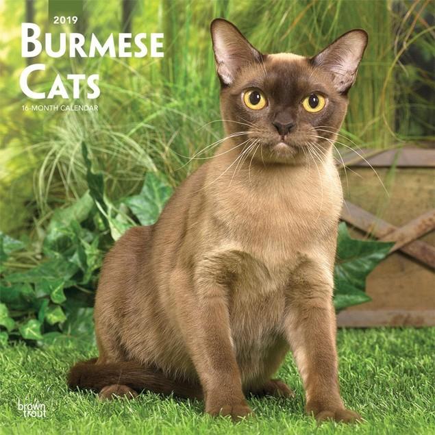 Cats Burmese Wall Calendar, Cat Breeds by Calendars