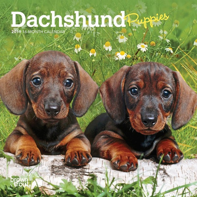 Dachshund Puppies Mini Calendar, Dachshund by Calendars