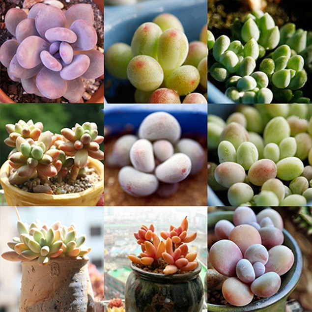 100pcs Mix Succulent Seed Lithops Pseudotruncatella Bonsai Plants Seeds