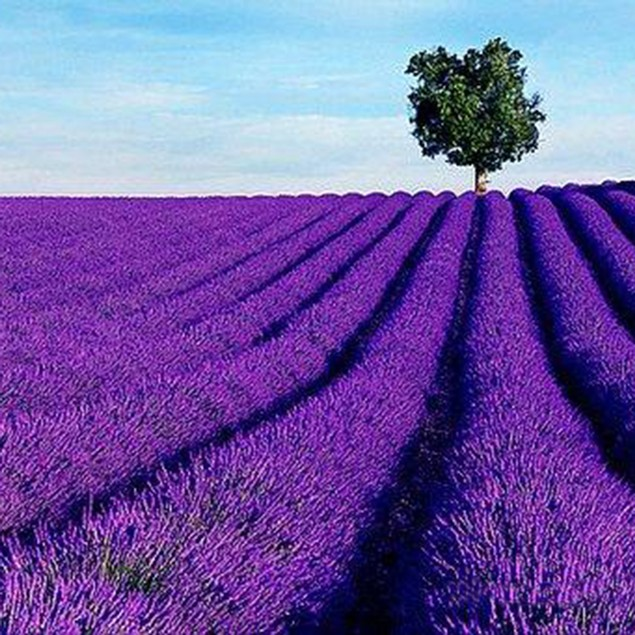 100Pcs/Pack Lavender Herb Seeds Home Balcony Aromatic Plants Flower Seeds