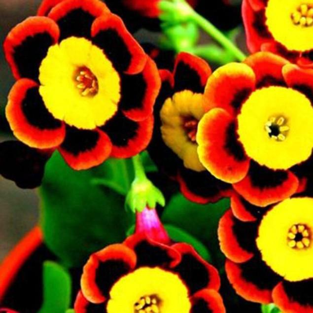 100Pcs/Pack Rare Tri-Petunia Annual Flower Seeds Home Bonsaiing