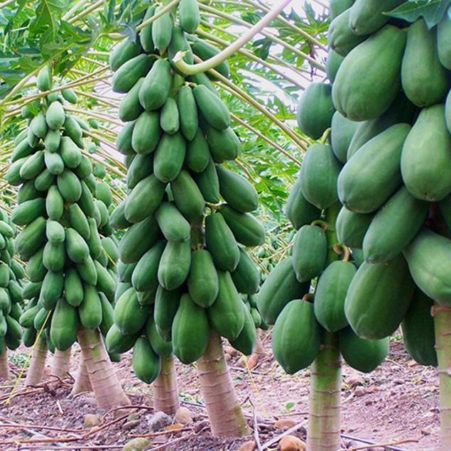 8 Pcs Maradol Papaya Fruit Tree Plants Seeds Organic Home Balcony