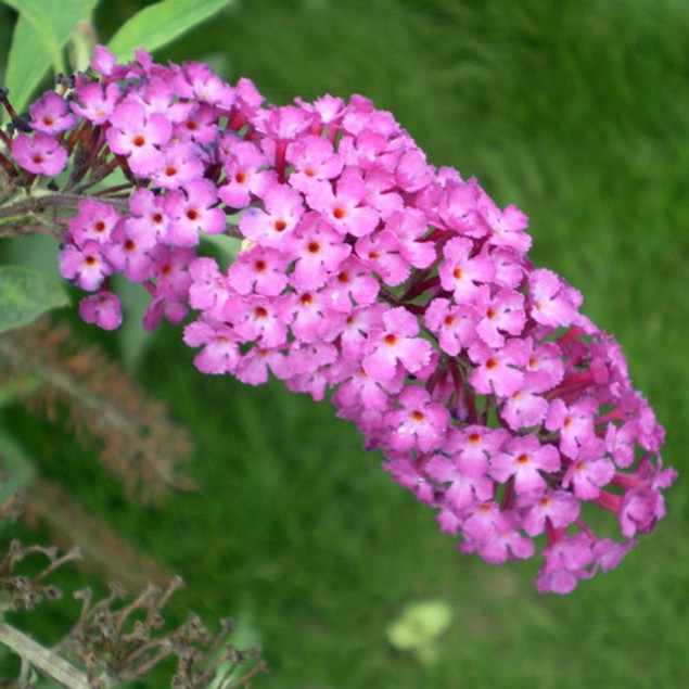 20-Piece Colorful Butterfly Bush Buddleia Flower Seeds