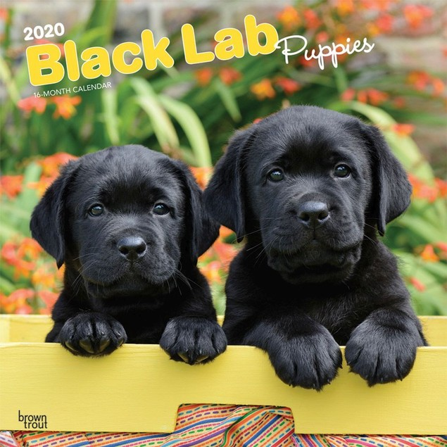 Lab Retriever Black Puppies Wall Calendar, Black Lab by Calendars
