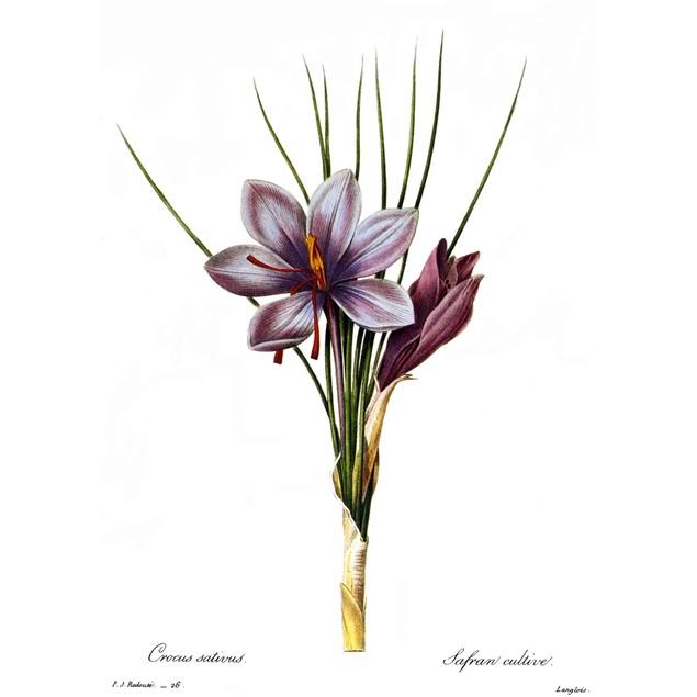 Botany: Saffron. /N(Crocus Sativus). Engraving After A Painting By Pierre J